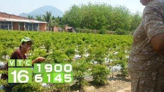 Kỹ thuật trồng cây đinh lăng I VTC16