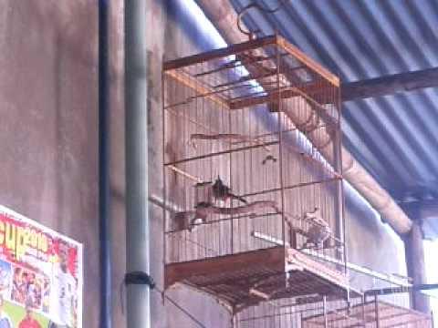 Trung Mang đấu ở trường chim Tuấn Sao Không.MOV