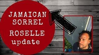 Plant of the Week: Roselle Hibiscus sabdariffa 'Roselle'