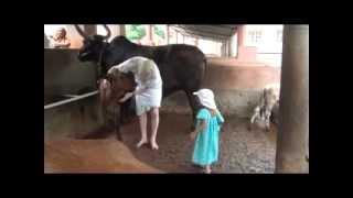 Give Krishna's Cows a Good Scrub (10min)