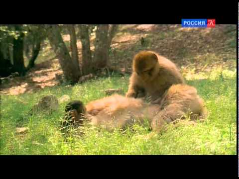 Смешные обезьяны Приколы про обезьян Funny monkeys #1 (Макаки жгут)