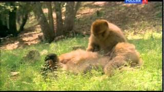 Третья серия / Из жизни животных / Правила общежития среди обезьян
