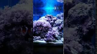 Морской нано-аквариум 26л: рыба клоун и ксения пульсирующая