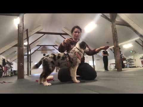 SHOWTRAINING Aussie puppy Skylar 4 months