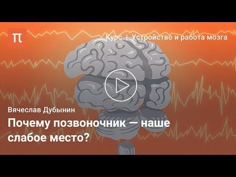 Вопрос: Какую функцию выполняет спинной мозг у животного и человека?