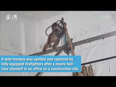 Wild monkey captured by firefighters after half-hour standoff in east China