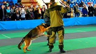 Служебные Собаки. Дрессировка Собак. Задержание Преступника. Служебные Собаки Задержание Преступника