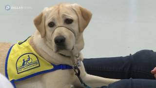 Puppies preparing to become assistance dogs
