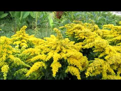 Цветы. Растения. Интересное растение Солидаго канадский (Золотарник).