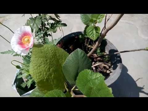 289- NEW METHOD for PROPAGATION of FIG through stem cutting (Hindi /Urdu) 10/2/17
