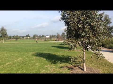 Nox - Australian Kelpie - 6 months old chasing birds