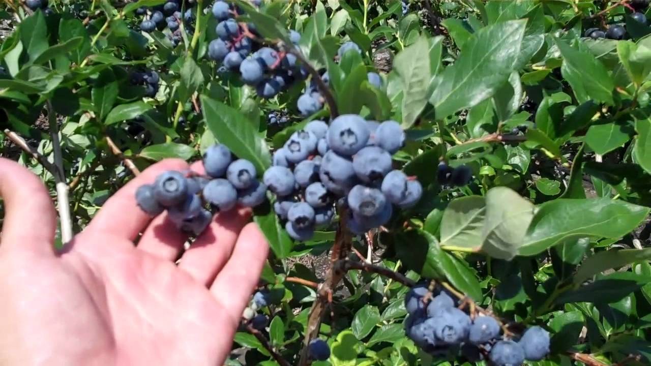 extending your blueberry picking