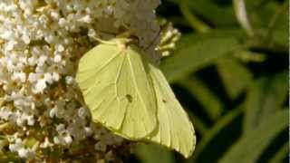 Common Brimstone (Gonepteryx rhamni) on white Butterfly-Bush (Buddleja davidii) [1]