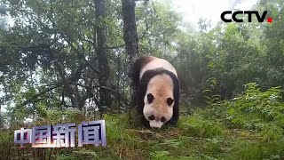 [中国新闻] 中国野生大熊猫独立探测次数达873次 | CCTV中文国际
