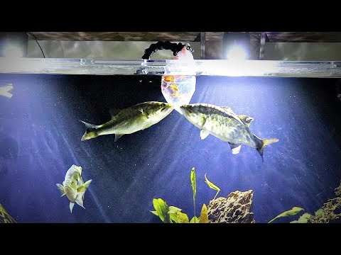 Pet Bass Feeding Experiment (Goldfish)