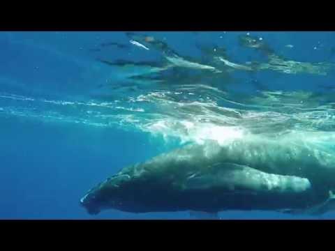 Deep Blue Diving Tonga - Humpback Whales