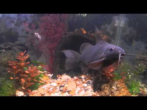Network Catfish And Blood Parrot Cichlids Swimming