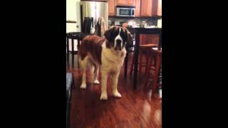 Saint Bernard argues with mom for Bread