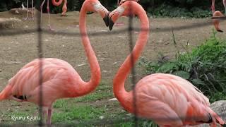 東京の上野動物園。 ガラパゴス諸島やカリブ海沿岸、ブラジルなどに生息...