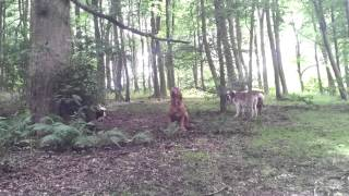 Dogue De Bordeaux Barking