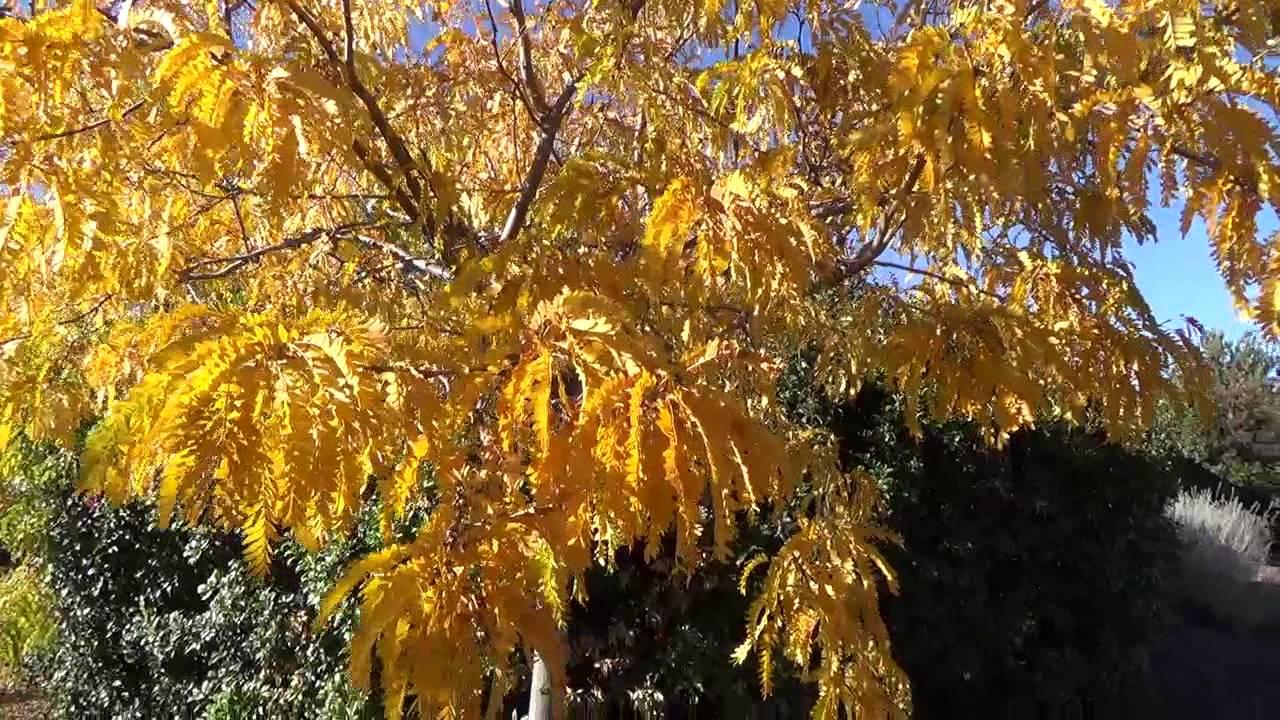 Sunburst Honeylocust In Fall Color