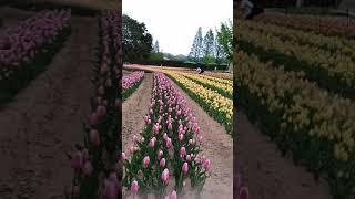 広島世羅町のチューリップ園にて撮影します.