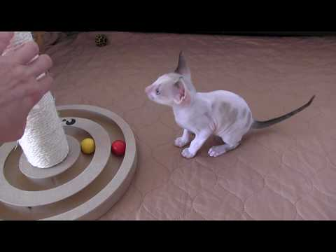 Cornish Rex Kittens are trying to scratch their cat tree!