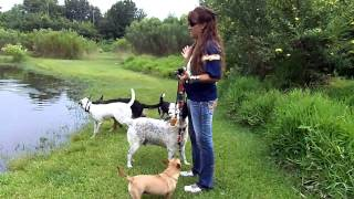 Dog Training Off Leash Recall Dogtra Remote E Collar Pager  Deaf Dogs