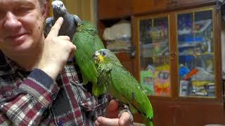 Птенцам венесуэльского амазона нужна ласка.