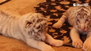Собака пригрела брошенных тигрят