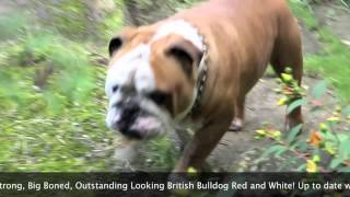 British Bulldog Buster For Stud By Oliver Bulldogs