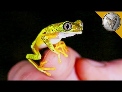 Thumbnail: Rarest Frog in the World?