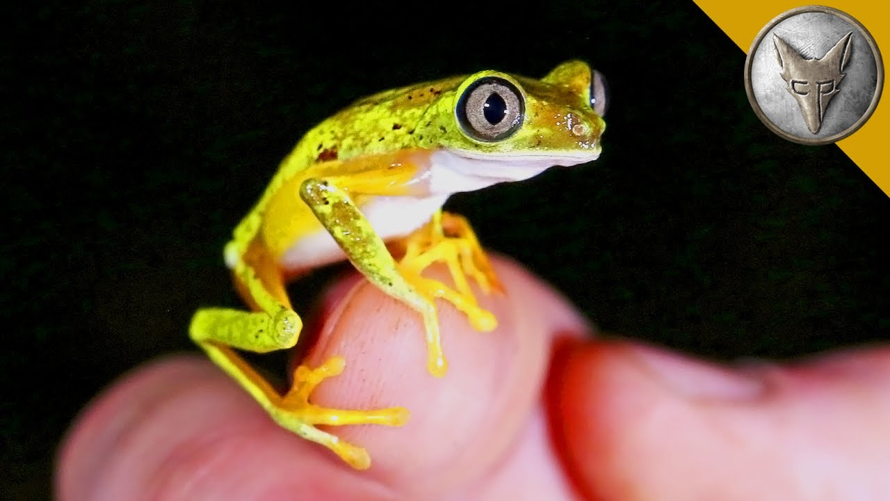 Rarest Frog in the World? - Funny video, Game Show, Clip ...