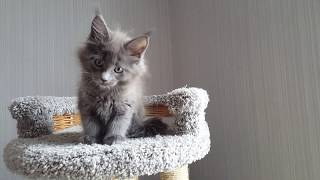 Аркона (Divokun Arkona) Кошечка мейн-кун - 2 месяца