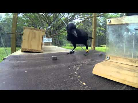 Crow Solves An 8 Step Puzzle  To Get Food. Incredible!
