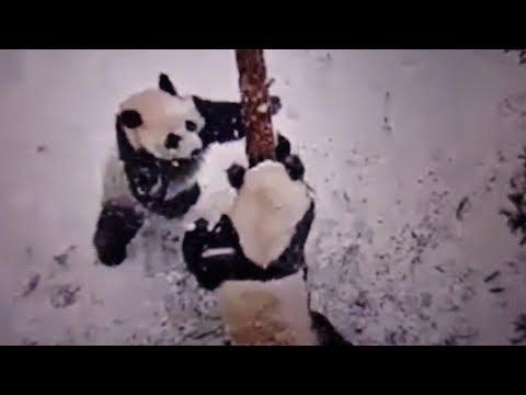 Jia Panpan & Jia Yueyue's Snow Day Fun! (1/23/2019)