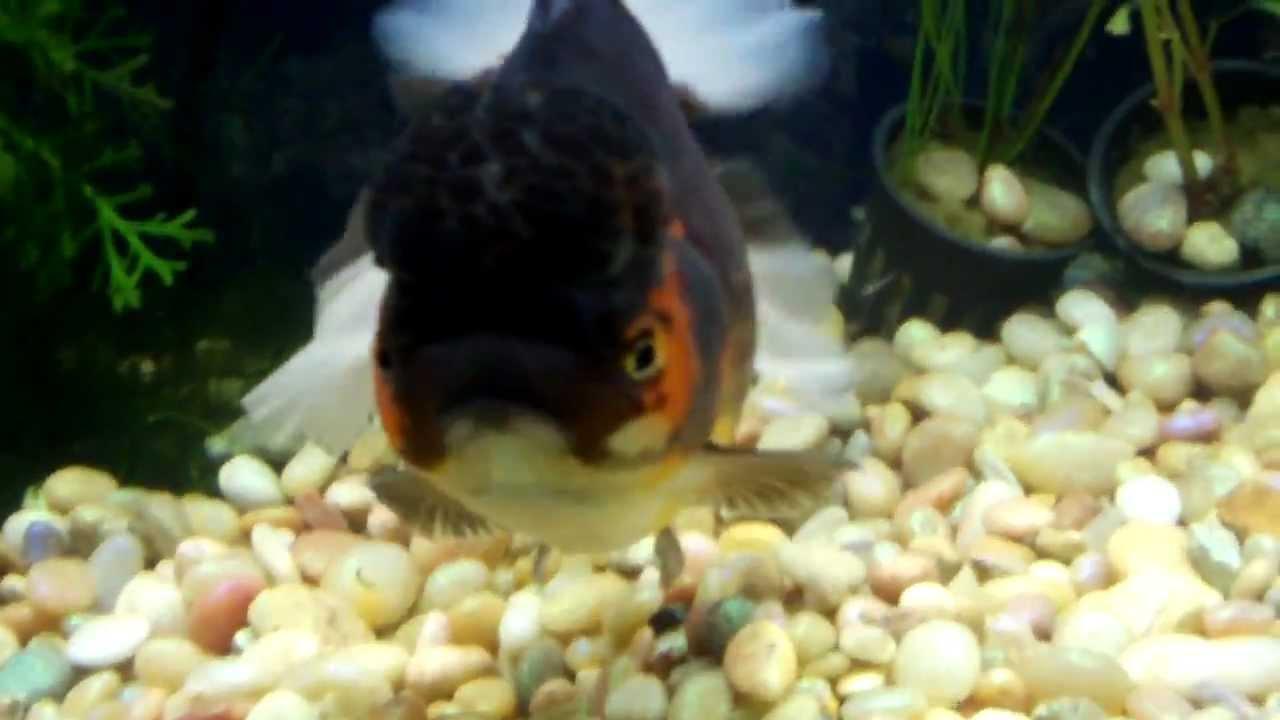 Rare Giant Oranda 7 U0026 39  U0026 39  Fancy Goldfish Tank 55 Gallon For Sale Huge Oranda