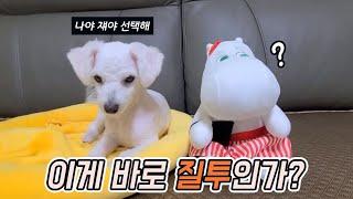 무민 인형에게 질투하는 아기 비숑 우유 ( 귀여운 강아…