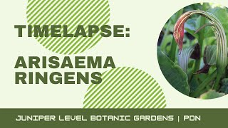 видео Arisaema CANDIDISSIMUM (Аризема) - Декоративно цветущие  - Интернет-магазин - Адениум дома: от семян до растений. Выращивание и уход.