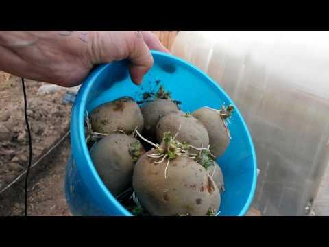 Как посадить раннюю картошку в Сибири?  Очень просто!!!   картошка   сибири   ранняя   огород   сад   в