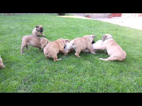 Boerboel puppies playing