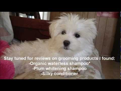 Basic Grooming For A Maltese Youtube