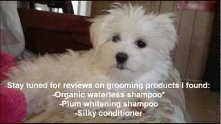 Basic Grooming For A Maltese