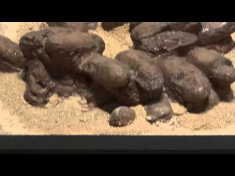 オヴィラブドル類の巣  Oviraptoridae(Oviraptorids):「大恐竜展」ゴビ砂漠の驚異