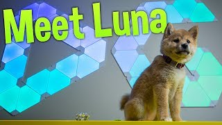 Download Let's Talk About Youtube - Meet My Shiba Inu Puppy Luna!