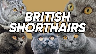 4 Fun & UNKNOWN Facts About British Shorthairs!