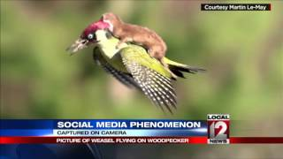 Weasel on a flying woodpecker goes viral