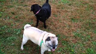 Pug And Puggle Chase Each Other In The Park