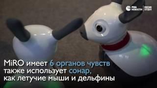 Робот MiRO