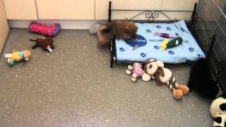 Little Rascals Uk Breeders New Litter Of Pedigree Pomeranians